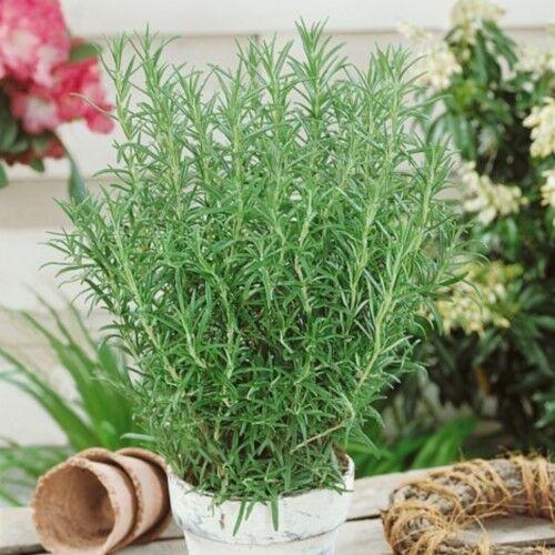 100pcs graines Vanilla Rosemary quatre saisons de CULTURE BONSAI Plante Maison Jardin