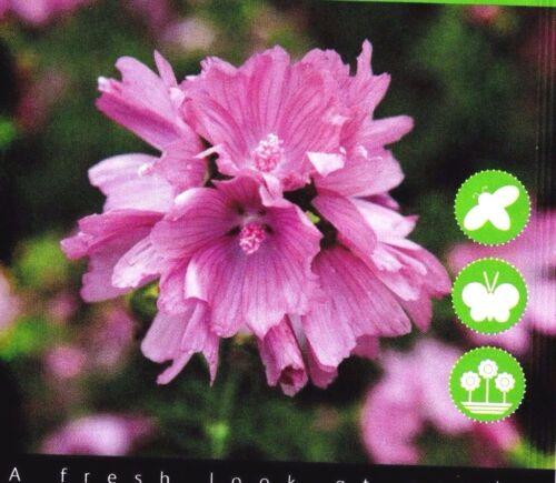 PERENNIAL WILDFLOWER MUSK MALLOW 250 HIGH QUALITY FLOWER SEEDS //BUZZY 005427