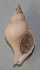 Coquillage-de-collection-Neptunea-fukueae