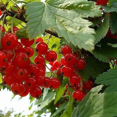 Ribes rubrum 'Jonkheer Van tests' - Groseillier à grappes rouges