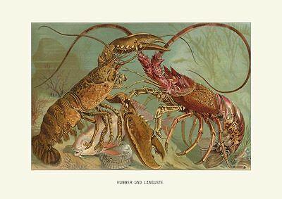 Hummer und Languste Homarus Palinuridae von 1890 Brehms Tierleben A3 02