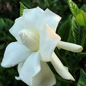Evergreen Shrub Scented No DroughtFrost Gardenia jasminoides Cape Jasmine Seed