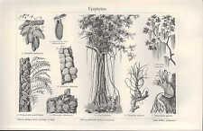 Lithografie 1907: EPIPHYTEN. Pflanzen Blätter Chlorophyll Bäume Blumen
