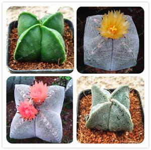 100-Pcs-Graines-Astrophytum-myriostigma-Fleurs-Bonsai-Pentagramme-Cactus-Jardin-Nouveau