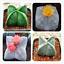 100-Pcs-Graines-Astrophytum-myriostigma-Fleurs-Bonsai-Pentagramme-Cactus-Jardin-Nouveau miniature 1