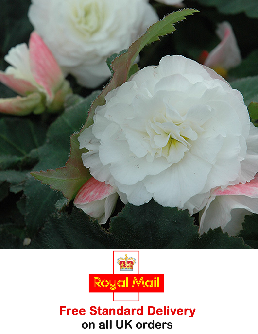 30 x BEGONIA NONSTOP F1 UPRIGHT APPLE BLOSSOM PELLETED SEEDS - Sow Jan to March