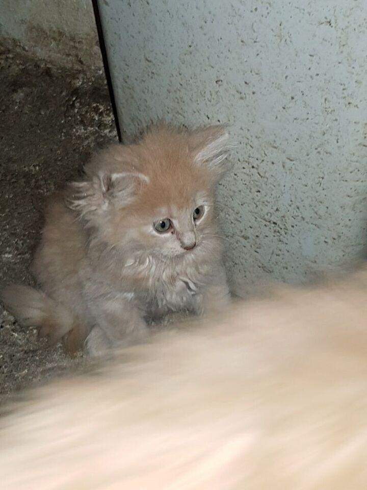 Flere killinger, Norske Skovkatte, 12 uger