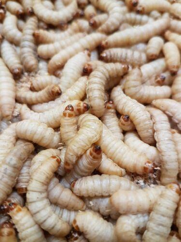 Wachsmottenlarven Bienenmaden lebend XXL Premium Baits 100 , 250 Stück