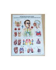 NEU Anatomie Lehr Poster Atmung / Atmungsorgane