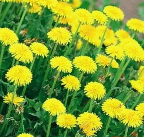 FD1038 Dandelion Seed Yellow Rare Herb Seeds Ball Flower Traditional Plant 50PC#
