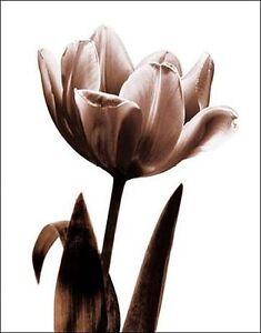 Caroline-KELLY-Tulip-en-sepia-I-camilla-imagen-de-Pantalla-Flores-Tulipanes