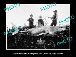 OLD-8x6-HISTORICAL-GAME-FISHING-PHOTO-OF-GREAT-WHITE-SHARK-CATCH-c1900-NZ