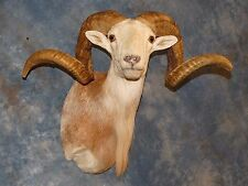 Awesome Record Book Texas Dall Sheep/Mount/Ram/Corsican/Goat/Taxidermy Decor