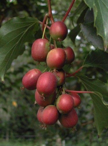 Garten Samen Rarität Exot mehrjährige Obststaude Kletterpflanze MINI-KIWI