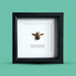 Golden-Carpenter-Bee-in-Box-Frame-Taxidermy-Insect-Art-Interior-Design