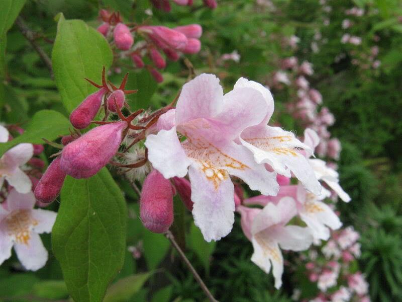 20 Beauty Bush kolkwitzia amabilis seeds Tree//Ornamental Flower CombSH