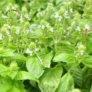 100X-basil-seeds-easy-to-grow-flower-diy-home-garden-plant-green-purple-seeBLCA