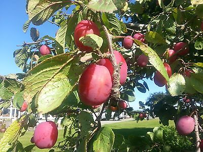 Big Juicy Victoria Plum Tree, 4-5ft Tall in a 5L Pot, Self Fertile & Juicy