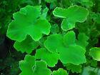 Peppermint Scented Geranium / Pelargonium x 7 Cuttings