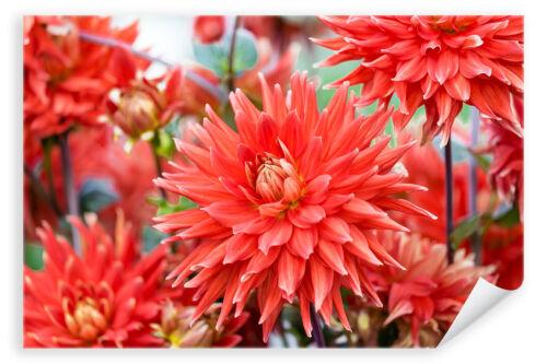 Bluete Blume Pflanze rot Flora Feld Kaktus Dahlien Poster 2734 Postereck