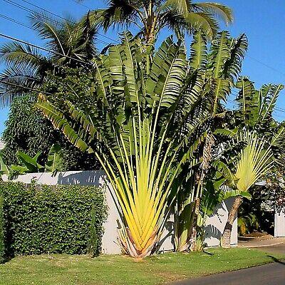 Ravenala madagascariensis 15 Samen Baum der Reisenden Traveler/'s Palm seeds