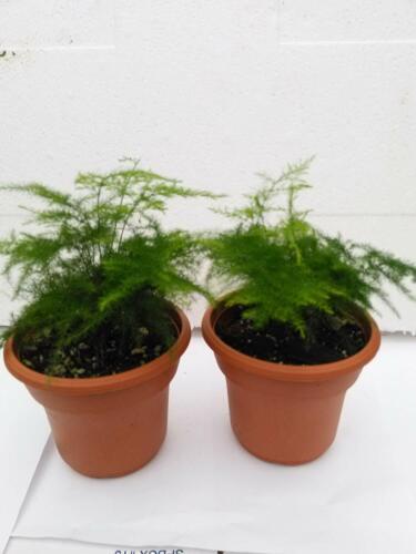 """2 Fern Live Plant Leaf Plumosus Asparagus Fern 4.5/"""" Unique Design Pot Indoor"""