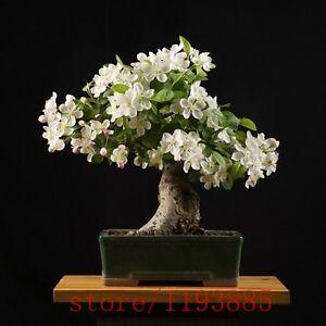 Image Is Loading Gardenia Bonsai Tree 100 Pieces