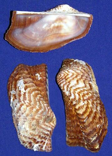 Turkey-Wing-Clam-Half-Shells-Pecten-Cockle-2-1-2-3-034-Craft-Seashells-6-12-Pcs