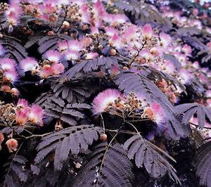 albizia summer chocolate purple mimosa tree 5 seeds ebay. Black Bedroom Furniture Sets. Home Design Ideas