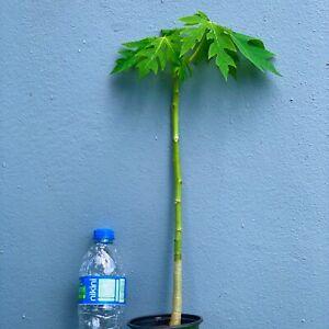 PAPAYA-Tropical-LIVE-FRUIT-TREE
