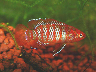 DARIO DARIO  * RED SCARLET INDIAN BADIS *  1.5CM