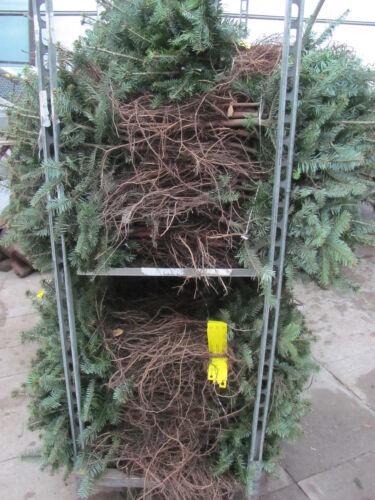 Abies lasiocarpa 20-40cm Tanne Kork Forstpflanzen Korktannen 10st