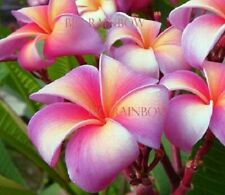 """/""""PINK SALMON/"""" FRAGRANT Plumeria Cutting Healthy Plant Fresh 7-12 INCH+ROOTED"""