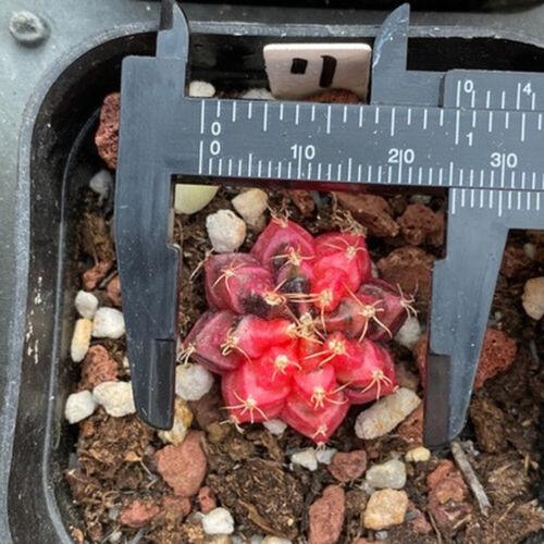 3CM Hybrid Gymnocalycium MihanovichiiBr Rose Plant Succulent Cacti Cactaceae Pot