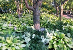 Hosta Mix Hardy Perennial Garden Shade Sun Medium Sized 40 Seeds Ebay
