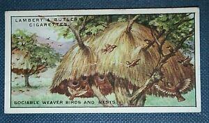 SOCIABLE-WEAVER-BIRD-Communal-Nest-Superb-Vintage-Card