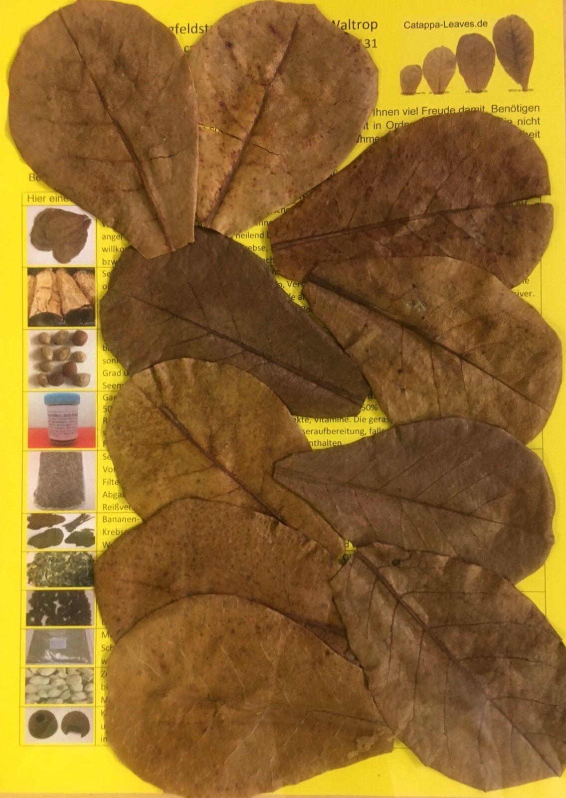NANO feuilles d'amandes de mer 10cm catappa - meilleure qualité - 10-1000 pièce