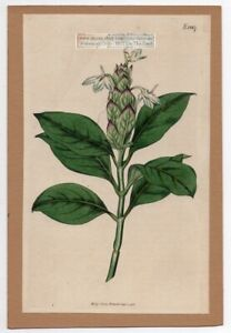 Blue-Fox-Tail-Curtis-Botanical-Flower-1816-Hand-Colored-Engraving