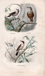 Buffon / Les Oiseaux. Le Mauvis - La Draine - La Rousserolle