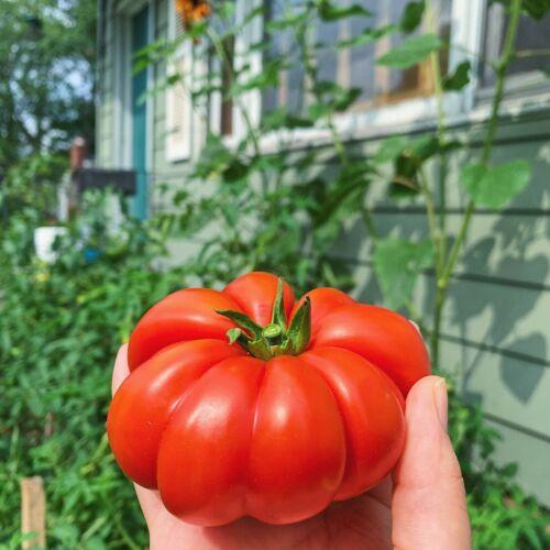 Seeds HEIRLOOM Vegetable Garden SPRING SUMMER TOMATO COSTOLUTO FIORENTINO 15