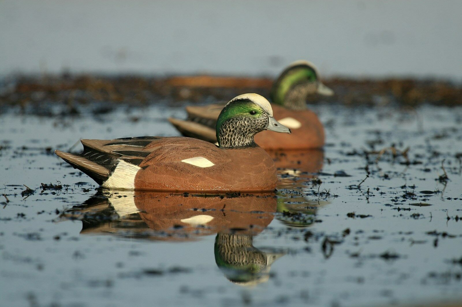 6 Avery Greenhead Gear GHG Life-Size LS Widgeon Wigeon Baldpate Decoys Decoy