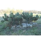 Opuntia Scheerii cactus succulentes cactii кактус hermann piantes plantes