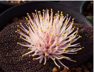 Massonia pustulata Seeds Purple Succulent 100/% Right Variety Blistered Massonia