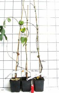 Cercidiphyllum-japonicum-Pendulum-Haengeform-vom-Katsurabaum-selten-rare