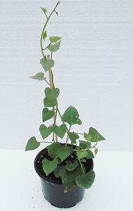 speise s kartoffel erato orange pflanze im 12cm topf. Black Bedroom Furniture Sets. Home Design Ideas