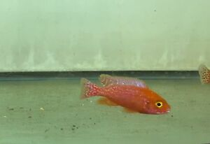 MALE Ruby Crystal Peacock Aulonocara African cichlid 1.25 inch GUARANTEED
