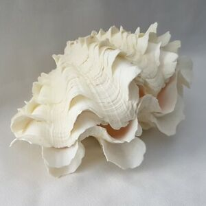 Ruffled-Clam-Pair-Seashell-5-inches-Off-White-bivalve-BV14