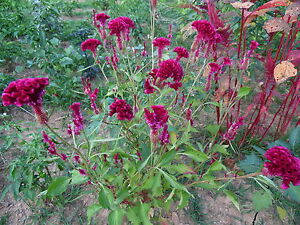 Image Is Loading Tall Reddish Purple Head Brain Celosia 30 Seeds