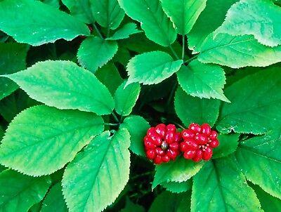 Ginseng americano (Panax quinquefolius) stratificata medicamenti ...