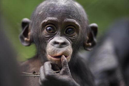 Ansichtskarte: nachdenkliches Bonobo Baby aus dem Kongo Afrika